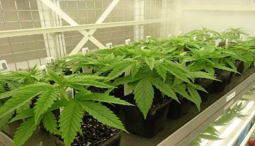 The first two shipments of medicinal cannabis have arrived in Australia