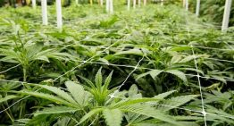 Cann Group Limited secures permits to start cultivation